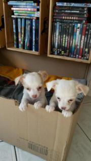 2 Chihuahua Welpen (