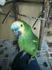 2 handzahme Papageien (