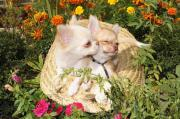2 Rüde Chihuahua