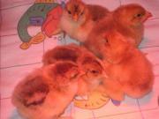 3 Hühner Brahma