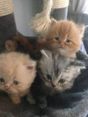 3 knudlige Perser