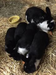 4 Kaninchen günstig
