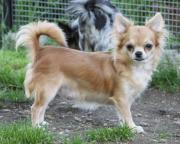 6 jährige Chihuahuahündin