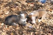 Appenzeller Sennen, Hofhunde