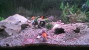 Axolotl mit Aquarium