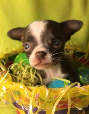 Baby-chihuahas welpen8*