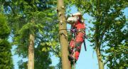 Baumfällarbeiten durch erfahrenen