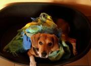 Beagle Dame