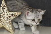 Bezauberndes BKH Kitten/