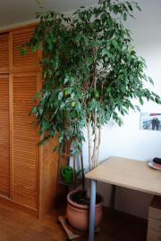 Birkenfeige (Ficus benjamini)