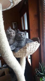 BKH Kätzchen Lilac