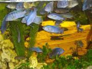 Blaue Barsche 10-
