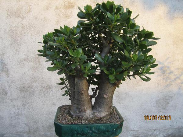 bonsai crassula sehr pflanzen. Black Bedroom Furniture Sets. Home Design Ideas