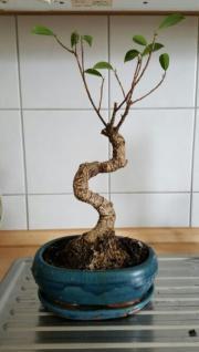 Bonsai Ficus Benjamino