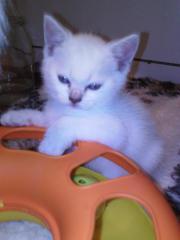 Britisch Kitten