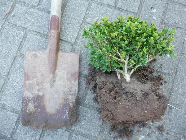buchsbaum pflanzen compo buchsbaum buxus buchsbaum. Black Bedroom Furniture Sets. Home Design Ideas