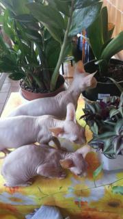 Canadische Sphynx Kätzchen