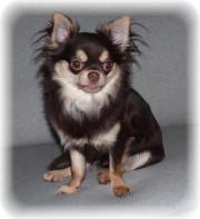 Chihuahua Deckrüde -- Kein