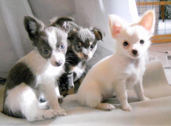Chihuahua In Oftersheim Hunde Kaufen Und Verkaufen Ber
