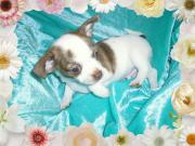 Chihuahua, männlich, weiß