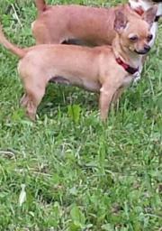 Chihuahua vermisst