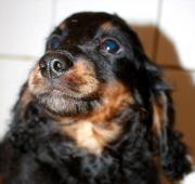 Dackel - Terrier Mischling