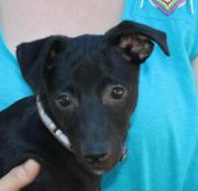 Dolce, Whippet Mix,