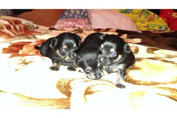 drei s e kleine welpen yorkshire terrier mit. Black Bedroom Furniture Sets. Home Design Ideas