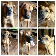 Dt. Boxer-Labrador-