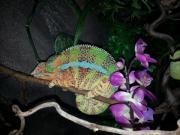 Furcifer Pardalis Ambilobe