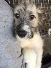 Grace, Irish Wolfhound