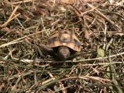 Griechische Babyschildkröte vom