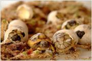 Griechische Landschildkröten Babys