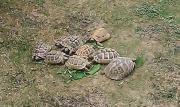 Griechische Landschildkröten DNZ