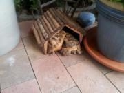 griechische Landschildkröten , männlich,