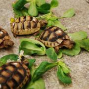Griechische Landschildkrötenbabys NZ