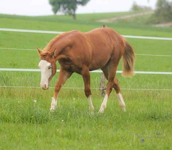 gunner pferd