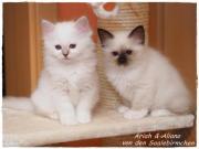 Heilige Birma Kitten -