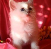 Heilige Birmakitten Lilac-