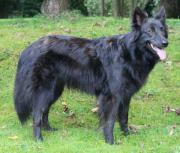 Hollandse Herder Langhaar (