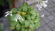 Hosta-Pflanzen