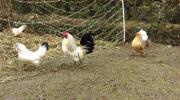 Hühner; Zwerghühner