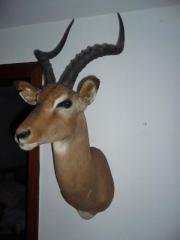 Impala Antilope, Tierpräparat,