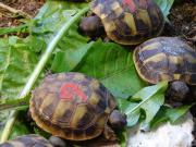 Junge griechische Landschildkröten
