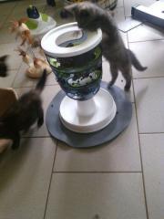 Kartäuser &EKH Kitten