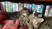 Kleine Kätzchen zu