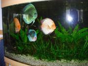 Komplettaquarium mit Diskusfischen