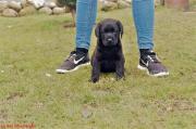 Labrador Hündin schwarz