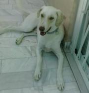 Labrador Mix BARRY,