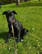 Labrador Retriever - Mischlings-